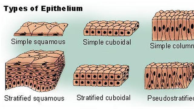 Fungsi Jaringan Epitel Pada Hewan Penting Dalam Anatomi Tubuh Hot Liputan6 Com
