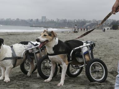Cabezon dan Pecas, anjing yang lumpuh di kursi roda berjalan di Pescadores pantai Chorrillos, Lima, (7/9/2015). Sara Moran memiliki tempat penampungan untuk anjing liar dan terluka akibat kecelakaan di Milagros Perrunos. ( REUTERS/Mariana Bazo)