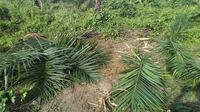 Kawasan perlintasan gajah sumatera banyak beralihfungsi menjadi perkebunan sawit. Akibatnya kebun sawit rawan diamuk kawanan gajah yang melintas. (Dok. Istimewa/B Santoso)