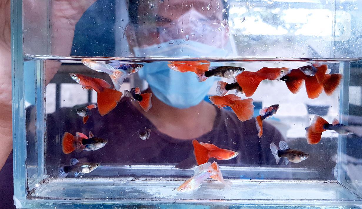 Stiadi menunjukkan Ikan guppy atau Poecilia reticulata di Pondok Jagung, Tangerang Selatan, Kamis (10/8/2020). Sebanyak 25 jenis ikan guppy di budidayakan karena keindahan warna dan bentuk siripnya. (Liputan6.com/Fery Pradolo)