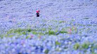 Taman bunga Hitashi jadi tujuan wisata di Jepang karena keindahan yang datang dari bunga Nemophila.