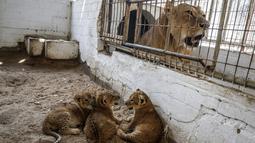 Tiga bayi singa yang baru lahir berada di dalam kandang di sebuah kebun binatang di Rafah, Jalur Gaza (8/9/2019). Kehadiran tiga bayi singa ini menambah koleksi satwa sebuah kebun binatang tersebut. (AFP Photo/Said Khatib)