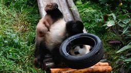 Panda raksasa Gonggong bermain di area luar Kebun Raya dan Taman Margasatwa Tropis Hainan, Haikou, ibu kota Provinsi Hainan, China selatan, pada 26 Oktober 2020. (Xinhua/Yang Guanyu)
