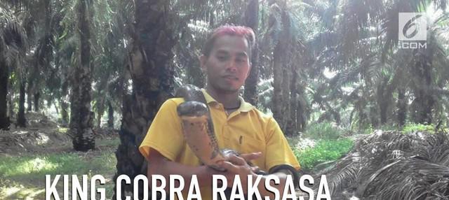 Foto seorang Pria memegang ular raksasa yang ditemukan di Kalimantan menggegerkan dunia maya.
