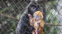 Remon, bayi lutung yang lahir di masa pandemi Covid-19 tengah bermain di kandangnya. Lutung tersebut menjadi penghuni baru Kebun Binatang Bandung. (Liputan6.com/Huyogo Simbolon)