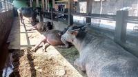 Daging kerbau bisa menjadi alternatif masyarakat pengganti daging sapi di bulan Ramadan. (Liputan6.com/Jayadi Supriadin).