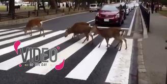Hanya di Jepang Rusa Menyebrang di Zebra Cross