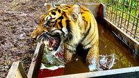 Harimau sumatra Corina saat berada di kandang sebelum pelepasan oleh BBKSDA RIau. (Liputan6.com/BBKSDA Riau/M Syukur)
