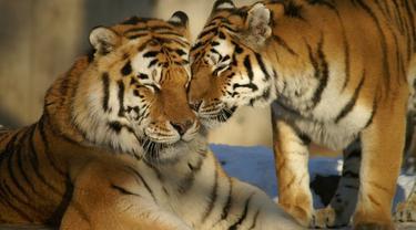 Ilustrasi dua harimau