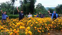 Hamparan bunga marigold di Bulango Timur, Kabupaten Bone Bolango, Gorontalo, membuat mata takjub. (Liputan6.com/Arfandi Ibrahim)