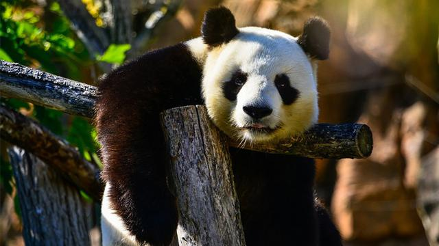 Lucu, Petugas Berkostum Binatang Demi Selamatkan Bayi Panda