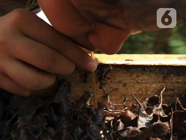 Anggota Kelompok Tani Hutan Hijau Lestari menyedot madu lebah jenis Trigona langsung dari sarangnya di kawasan Hutan Kota Srengseng, Kembangan, Jakarta Barat, Sabtu (5/6/2021). Budidaya lebah tanpa sengat ini merupakan wisata baru di kawasan Hutan Kota Srengseng. (Liputan6.com/Johan Tallo)