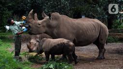 Keeper (perawat satwa) memberi makan Badak Putih (Ceratotherium Simum) di Taman Safari Indonesia, Bogor, Jawa Barat, Jumat (22/1/2021). Seekor bayi Badak Putih betina bernama Azsyifa lahir dari indukan bernama Chuma dan pejantan bernama Merdeka. (merdeka.com/Imam Buhori)