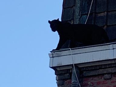 Seekor Black Panther berjalan di sepanjang atap rumah di Armentières, Prancis (19/9/2019). Kemunculan seekor macan kumbang (panther) besar tersebut membuat geger penghuni rumah dan warga. (Photo by HO/Sapeurs-pompiers du Nord/AFP)