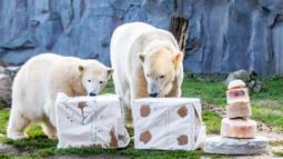 "Beruang kutub ""Nanook"" (kiri) dan ibunya ""Lara"" memeriksa paket dan kue es yang diberikan kepada Nanook untuk ulang tahun pertamanya di kebun binatang di Gelsenkirchen, Jerman barat (4/12). (AFP Photo/dpa/Marcel Kusch)"