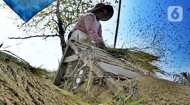 Petani melakukan panen padi jenis Ciherang di kawasan Pantai Sukawayana, Pelabuhan Ratu, Sukabumi, Minggu (1/12/2019). Musim kemarau yang menyebabkan pasokan beras berkurang di pasaran, menyebabkan harga gabah kering naik di tingkat petani. (merdeka.com/Arie Basuki)