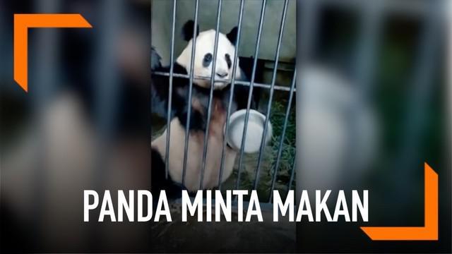 Seekor panda yang kelaparan meminta makan pada penjaganya dengan memukulkan panci pada jeruji.