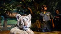 Seekor anak Harimau Benggala yang baru lahir di Jawa Timur Park II pada Maret 2016 silam (Zainul Arifin/Liputan6.com)