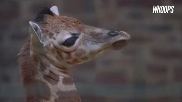 Jerapah yang memiliki tinggi badan 1.8 meter saat lahir ini dikenal langka dan hanya tersisa 1800 ekor di dunia.