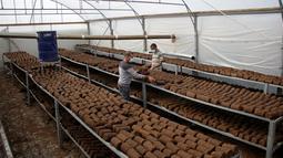 Pekerja memilah kayu pomace (ampas) di sebuah pabrik ekstraksi buah zaitun di Kota Khan Younis, Jalur Gaza, Palestina, 7 November 2020. Pekerja Palestina mengubah limbah produksi minyak zaitun menjadi kayu pomace yang dapat digunakan sebagai bahan bakar. (Xinhua/Rizek Abdeljawad)