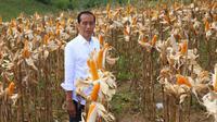 Panen jagung di Gorontalo, Presiden Jokowi bangga produksi meningkat pesat dan bisa ekspor. (foto: dok. Kementan)