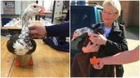 OTW OTW Seekor bebek yang kehilangan dua kakinya karena membeku di udara dingin telah mendapatkan kaki palsu pengganti dengan teknologi 3D.