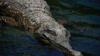 Jasad Manusia Ditemukan di Perut Aligator, Diduga Pria Hilang Saat Banjir dari Badai Ida