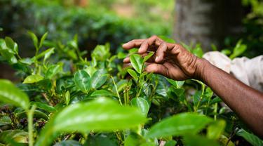 Ilustrasi kebun teh
