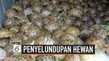 Penyelundup berusaha memasukan lebih dari empat ribu kura-kura ke Rusia. Hewan tersebut berasal dari daerah Kazakhstan.