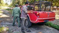 Personel BBKSDA Riau membawa box trap atau kandang jebak ke Desa Teluk Lanus jika harimau sumatra akan dievakuasi. (Liputan6.com/M Syukur)